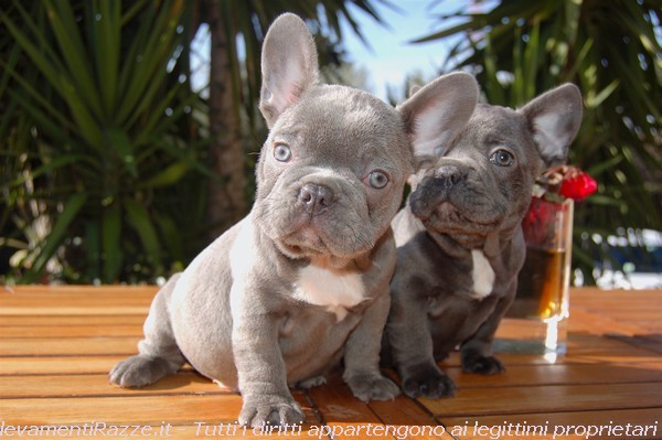 Cuccioli di bouledogue francesi blue disponibili vendita for Bouledogue francese