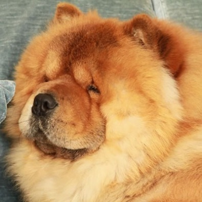 Chow Chow Ceppo Rosso - colore rosso