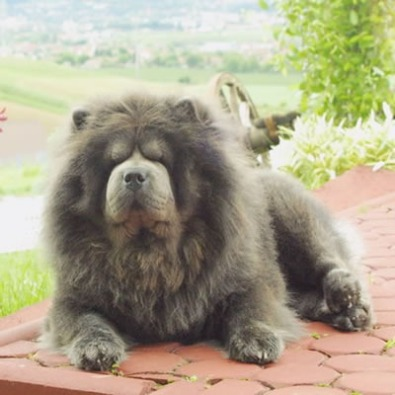 Chow Chow Ceppo Rosso - colore blu