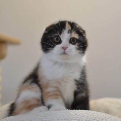 Cucciolo Scottish Fold
