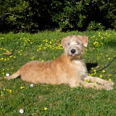 Allevamento Irish Soft Coated Wheaten Terrier