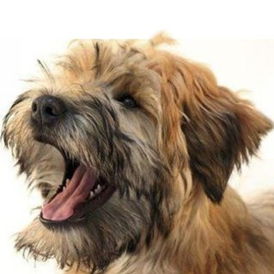 Allevamento Irish Soft Coated Wheaten Terrier di D. Curati