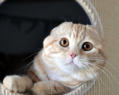 Allevatori, Scottish: Lo Scottish Fold, il gatto con la cuffietta