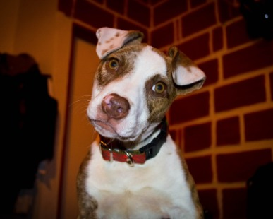 Veterinari, cani, Cani Taglia Grande, Pitbull, Cure e salute: Differenze tra Pitbull red nose, American Pitbull Terrier e Pitbull