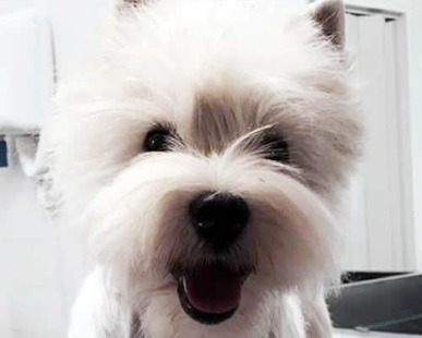 Allevatori, West Highland: Il carattere del West Highland White Terrier