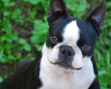 Allevatori, Boston Terrier: La morfologia e il carattere del Boston Terrier