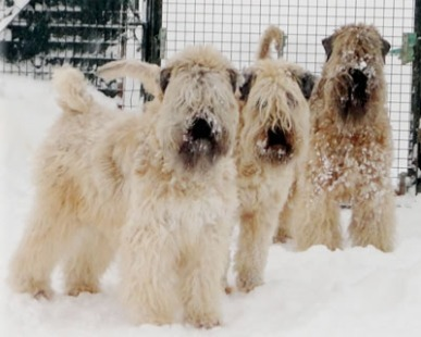 Allevatori, cani: Irish Soft Coated Wheaten Terrier,pregi e qualità di questa razza