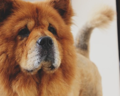 Chow Chow: Chow Chow, un cane dal carattere forte e immensamente protettivo