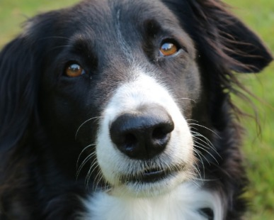 Allevatori, Addestratori, Border Collie, Apprendimento: Addestramento del Border Collie