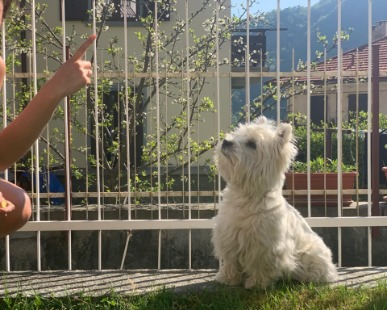 Allevatori, West Highland: Addestramento base del cucciolo West Highland White Terrier