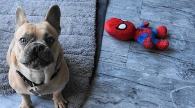 Bouledogue francese con Spiderman