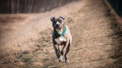 American Staffordshire Terrier corre