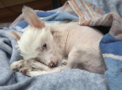 Cucciolo Chinese Crested Dog