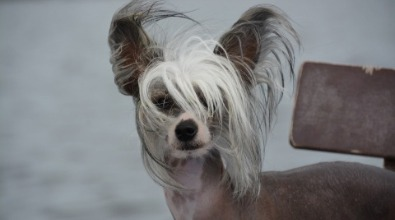 Chinese Crested Dog Hairless