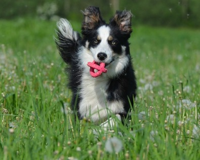 Border Collie gioca