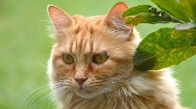 Maine Coon rosso
