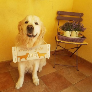 Allevamento golden retriever Debby's Gold