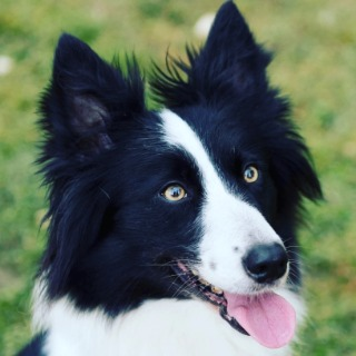 Allevamento border collie