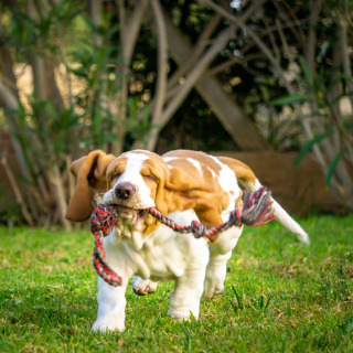 Allevamento CASA GAGLIARDI FOOTSTEPS BASSETHOUND