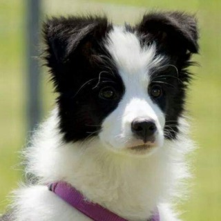 LOVE IN YOUR EYES - BORDER COLLIES