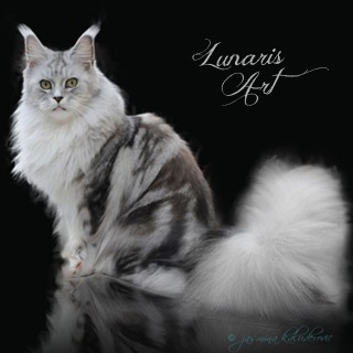 LUNARIS ART MAINE COON