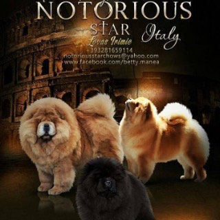 Notorious Star chow chow