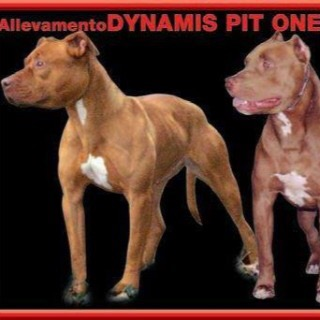 Allevamento Dynamis Pit One