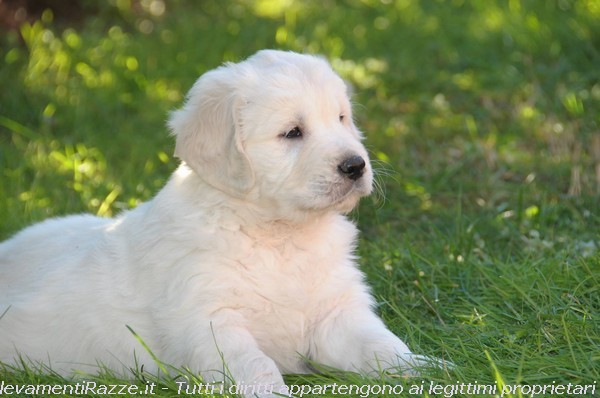 Golden Retriever a Lodi