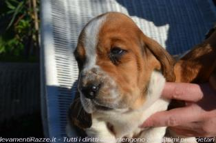 Bassethound a Pistoia