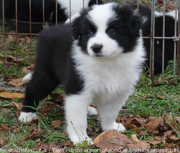 Border Collie a Roma