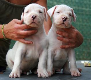 Dogo Argentino a Firenze