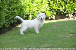 Vendita Cani Taglia Media: Cuccioli di Golden Retriever con Pedigree-