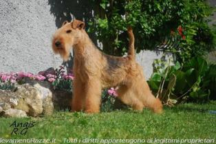 Fox Terrier a Milano